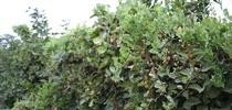 Photo 1: Blackberry hedgerow totally overgrown with field bindweed for UC Weed Science Blog