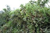 Photo 1: Blackberry hedgerow totally overgrown with field bindweed