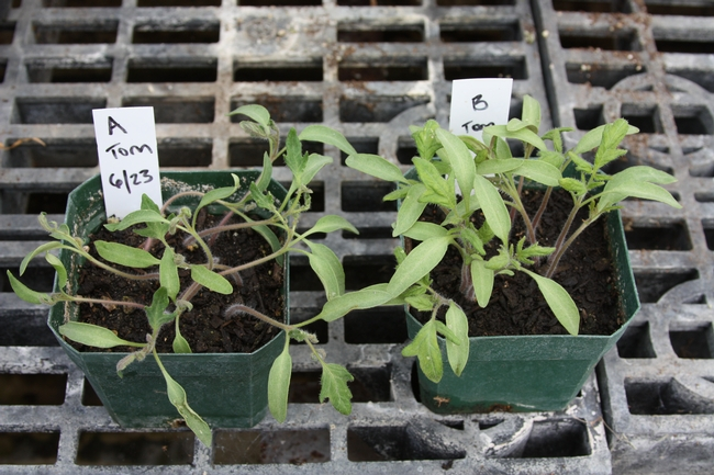 Plant on left grown in affected soil; plant on right grown in affected soil with activated charcoal