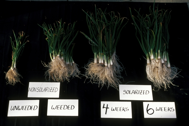 Figure 5. Green onions harvested from solarization experiment. Unsolarized left with or without hand weeding. Green onions harvested from beds solarized for 4 (left) or 6 (right) weeks.