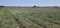 Bindweed field for UC Weed Science Blog