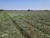 Bindweed field