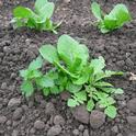 Weed control in cool-season vegetables