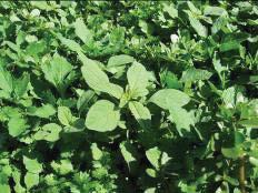 Weeds in cilantro