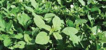 Photo 1. Weeds in cilantro for UC Weed Science Blog