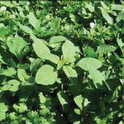 Photo 1. Weeds in cilantro