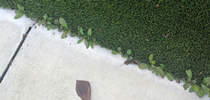 Real weeds in fake turf. Photo credit: L.M. Sosnoskie for UC Weed Science Blog