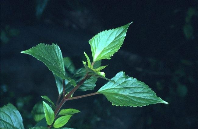 ageratina adenophora3