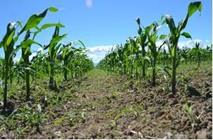 UCCE Agron Weed Farm Advisor