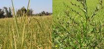 Weeds found in a rice field: Red rice (left) Winged primrose willow (right) for UC Weed Science Blog