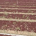 Figure 2. Weeds in high density baby lettuce plantings must be removed by hand