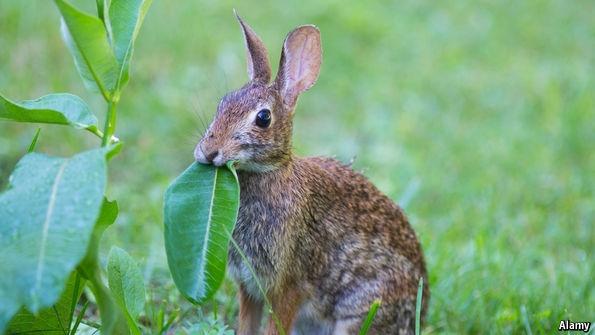 Rabbit eating milkweed