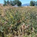 Scotch Thistle Forest Lassen County