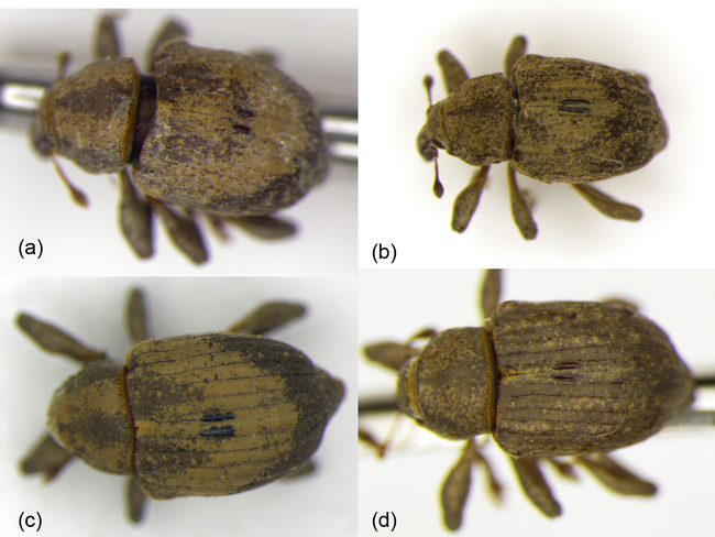 Typical elytra markings characteristic of (a) Neochetina bruchi and (b) N. eichhorniae; compared to atypical elytra markings for (c) N. bruchi and (d) N. eichhorniae. All species were found in the Delta and its associated river systems. Identifications were confirmed with sequences of the mitochondrial cytochrome oxidase subunit 1 (COI) gene.