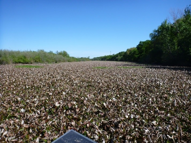 Snodgrass Slough before mechanical removal of waterhyacinth