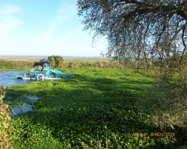 Mechanical harvester removing waterhyacinth and spongeplant in Sevenmile Slough