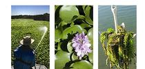 Delta-Water-Hyacinth-and-Egeria-Densa for UC Weed Science Blog