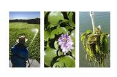 Delta-Water-Hyacinth-and-Egeria-Densa