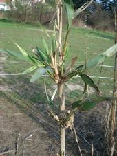 Arundo damaged by armored scale