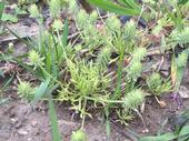 Bur buttercup closeup. The plants are only 2-3 inches tall with deep lobes and the characteristic burs.