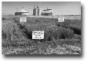 Early BUTTE® trials at the Rice Experiment Station, 2012