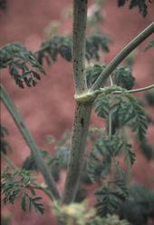 Poison hemlock stem showing purple spots. Photo by Joe.