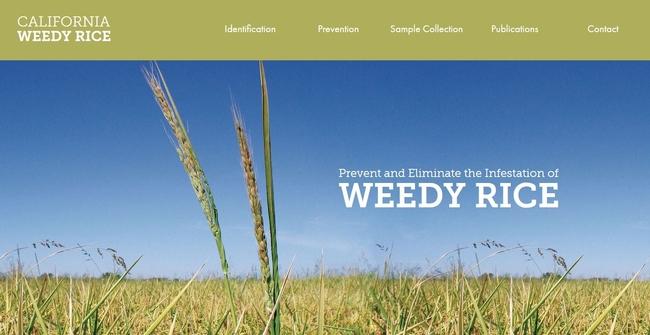 New website on California weedy rice information: www.caweedyrice.com