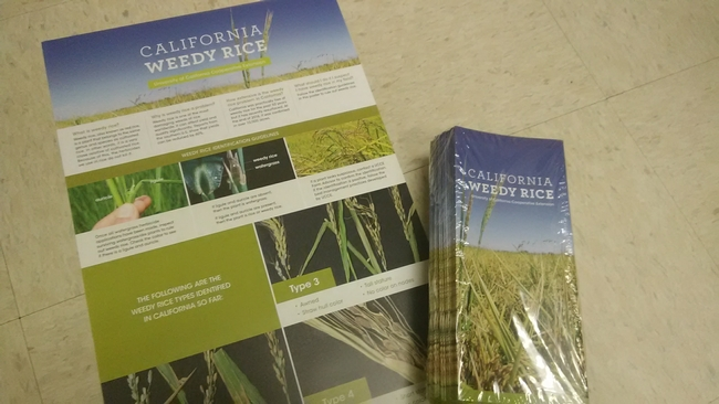 Poster and pamphlet for weedy rice identification in California