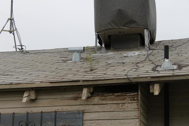 roof groundsel
