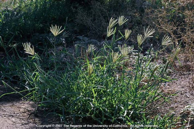 Picture1 Feather fingergrass plant (Photo J. M. DiTomaso)
