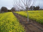 random walnut orchard   Hanson UCD