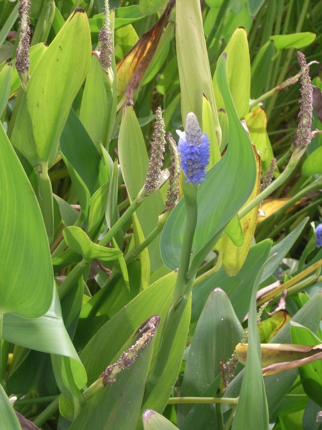 Pickerelweed (Pontederia cordata)