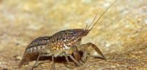 Marbled crayfish for UC Weed Science Blog