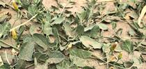 Dust on leaves for UC Weed Science Blog