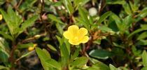 Uruguay waterprimrose for UC Weed Science Blog