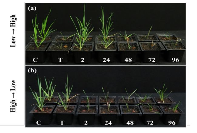Figure 1. Temperature-dependent response of B. hybridum plants to pinoxaden at different time points after herbicide application