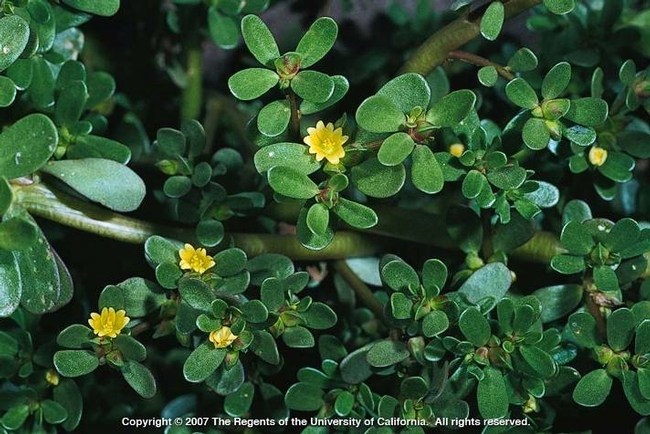 Common purslane leaves and flowers (Photo by Joe DiTomaso)