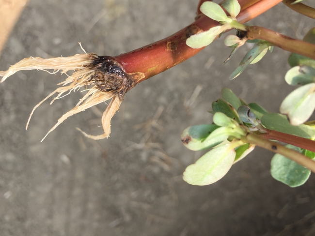 Left on the soil, purslane stem fragments form new roots (photo by Guy Kyser)
