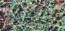 Knotweed plant for UC Weed Science Blog