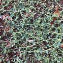 Knotweed plant