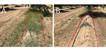 Figure 2. Untreated (Panel A) and treatment #5 (Panel B) 150 days after spring treatment. for UC Weed Science Blog