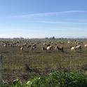 Goats grazing an alfalfa field, Yolo County, 2019.