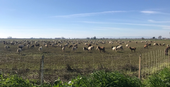 Goats grazing an alfalfa field, Yolo County, 2019.