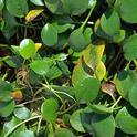 Photo 1. Spongeplant growing on the water surface. Photo by J.M. DiTomaso.