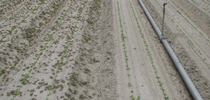 Figure 1. On left: Kerb at 3.5 pints/A applied at planting; On right Kerb at 3.5 pints/A + Prefar at 1.0 gallon/A applied at planting. The main weed is common purslane which was not controlled by Kerb because it was pushed below the zone of germinating weed seeds by the germination water. for UC Weed Science Blog