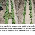 Crop injury was the most severe in the plot sprayed with 8 oz./acre (far right). Germination was severely inhibited, and leaf stunting was evident. Far left: herbicide-free plot; middle left: 4 oz./acre; middle right: 6 oz./acre. Pictures were taken on June 14, 2019 (38 days after seeding).