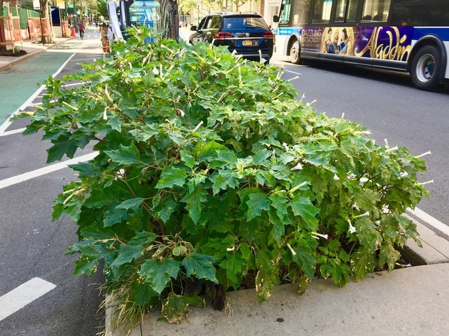 What a long, strange trip: Bumper crop of Datura stramonium, aka Jimsonweed, growing in planting bed on Columbus Ave. Greenway at 93rd St. in NYC. A well-known hallucinogenic plant, it is also fatally toxic when consumed in even tiny amounts. Adrian Benepe