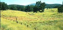 A severe infestation of yellow starthistle in Calaveras County. for UC Weed Science Blog