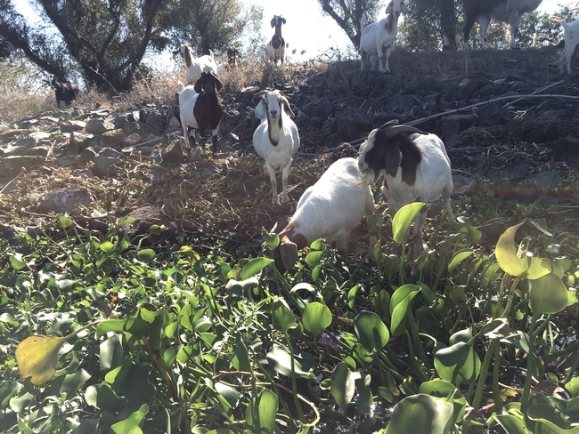 Goats eating waterhyacinth and waterprimrose along the San Joaquin river.
