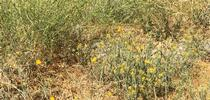 Yellow Starthistle for UC Weed Science Blog